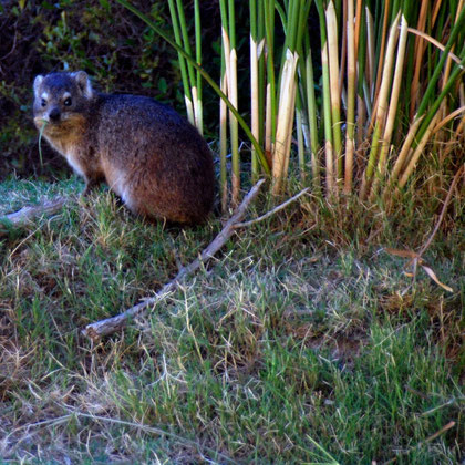 Dassies forage on grasses and broad-leafed plants