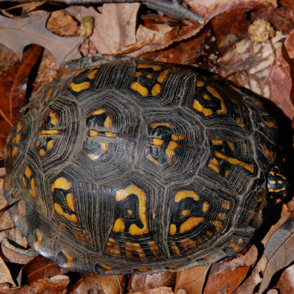 Eastern box turtle (Terrapene carolina carolina) crossing the cycle path near Mount Vernon
