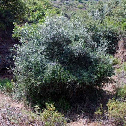 Wild olive (olea europeaum)