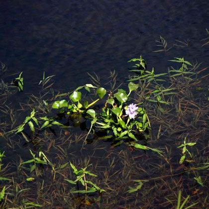 Water Hyacinth ?