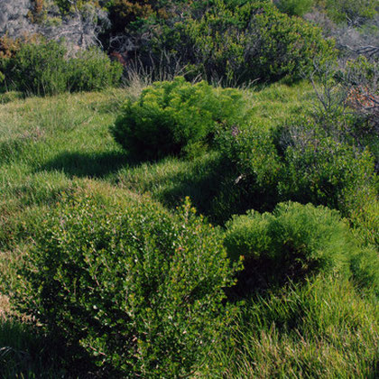 Cliffortia obcordata in foreground and Capnophyllum africanum to rear at Black Rock