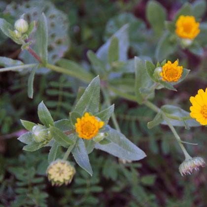Field calendula