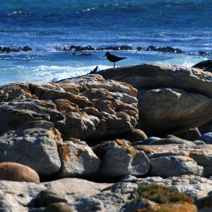 Cape Oystercatcher near Olifantbos