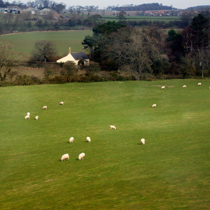 Sheep in spring fields, March 2011