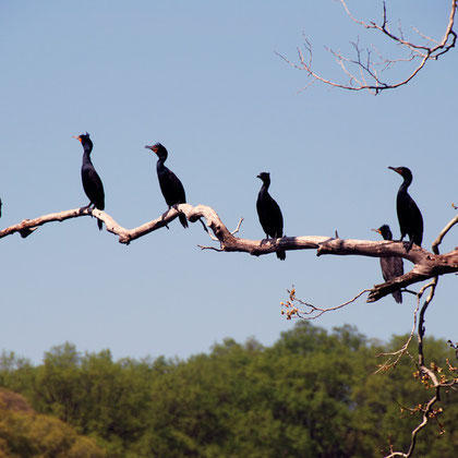 Five Double-crested Cormorants (Phalacrocorax auritus) on a plane tree above Gerogetown