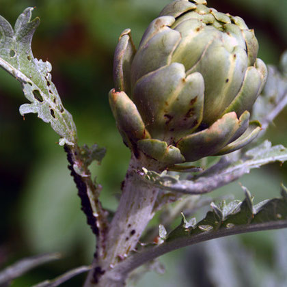 Black fly finally arrived on the artichokes in late June - very late