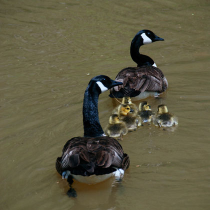 Canade Geese (Branta canadensis) with young on the C&O Canal