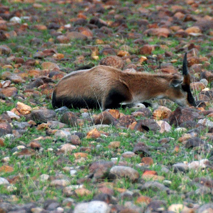 Young Bontebok resting in recently burnt area of the Bontebok National Park with fresh grass shoots evident