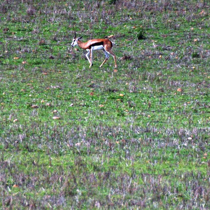 Springbok just outside the Bontebok