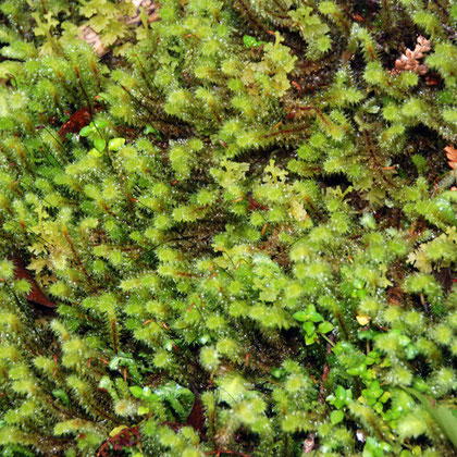 Forest moss - Ptychomnion aciculare (Ptychomniaceae)