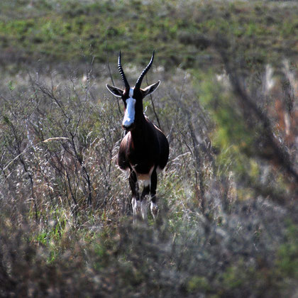 Bontebok at the Bontebok National Park