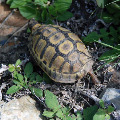 Young Leopard Tortoise