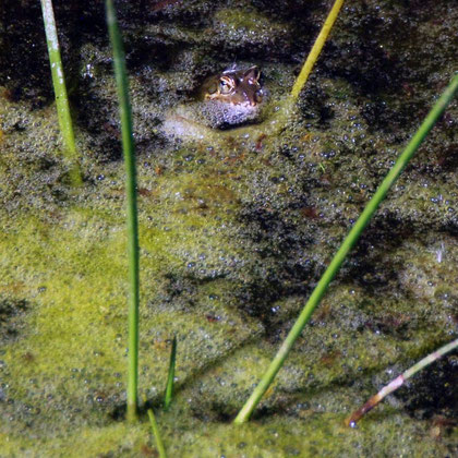 Frog in stangant water