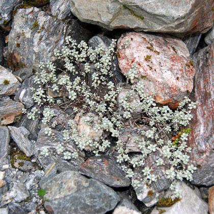 Forstera genus?