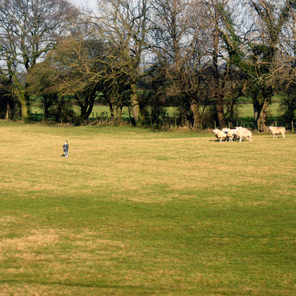 Boy and sheep in Vale of York