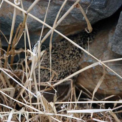 Disappearing endemic Cyprus hedgehog (Hemiechinus auritus dorotheae) Fikardou