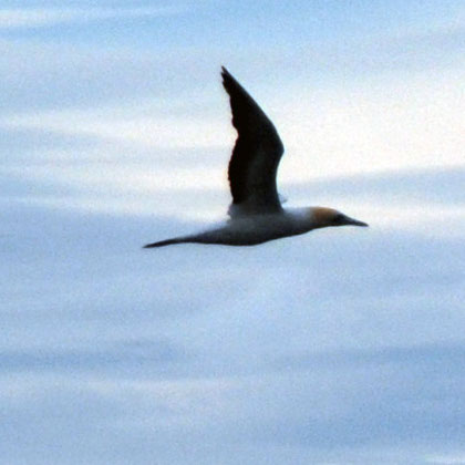 Distant Australasian gannet (Morus serrator) i flying by Ackers Point, Stewart Island.