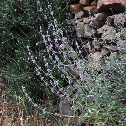 Wild plants, Fikardou