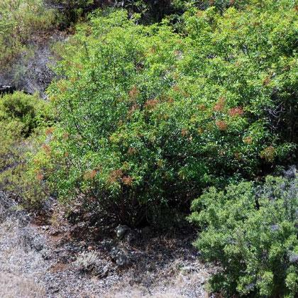 arbutus adrachne