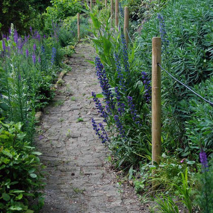 Up the garden path with Viper's Bugloss that has come good this year