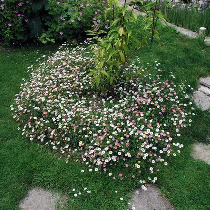 "Erigeron karvinskianus ""Profusion"" (2nd year and doing well)"