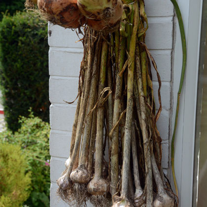 Rusty garlic from Isle of Wight seed and early autumn planting.