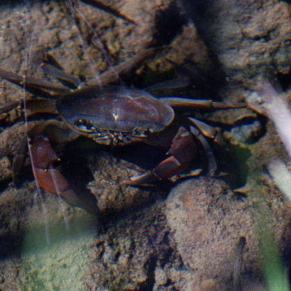 Freshwater crabs at Montagu