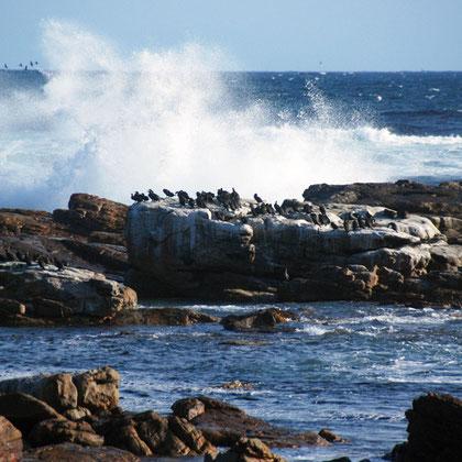 Cape Cormorants at Olifantbos Bay