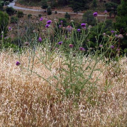 Cyprus cotton thistle (Onopordum cyprium)