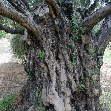 Ancient olive tree at the convent of Ayios Iraklidhios