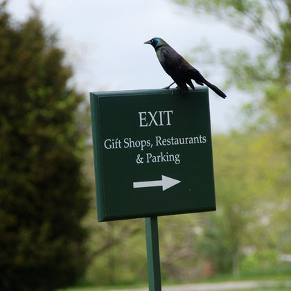 Common Grackle (Quiscalus quiscula) at Mount Vernon