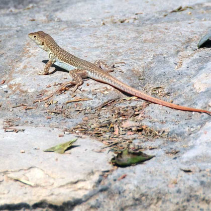 Spiny-footed lizard