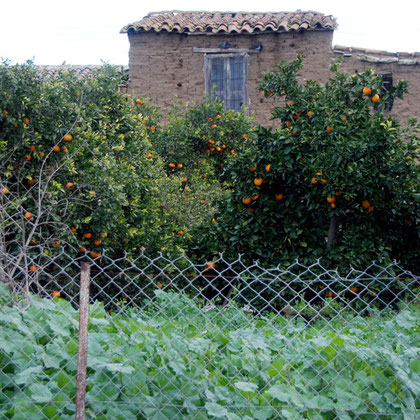 Mallow, mud-brick house, mandarins and pigeons (Akaki, January 2013)