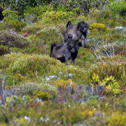 Cape Chacma Baboons foraging in low fynbos near Olifantbos