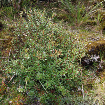 Gaultheria crassa  and moss (racomitrium crispulum) and red berries