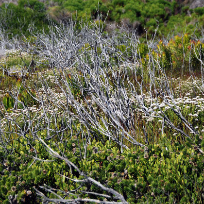Fire regenerated fynbos