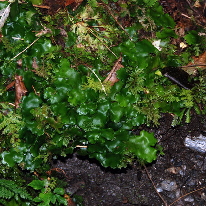 A thallose liverwort - (Monoclea forsteri - Hook)