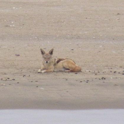 Kojote in Lauerposition