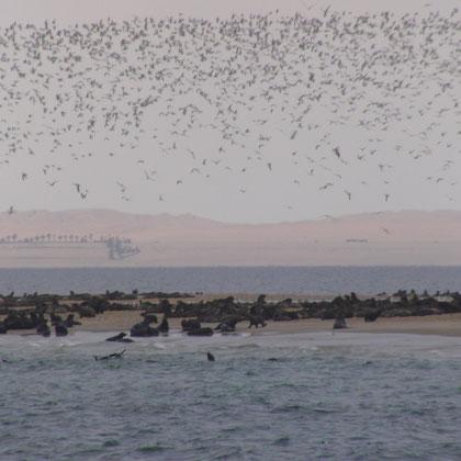 Robben und Vogelschwärme