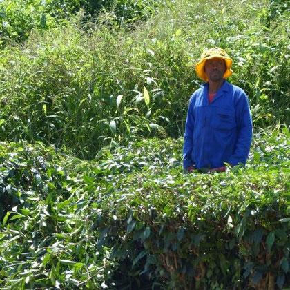 Arbeiter in der Teeplantage
