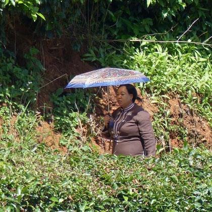Sonnenschutz in der Teeplantage