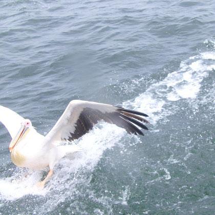 Pelikan Landung mit Bremsspur