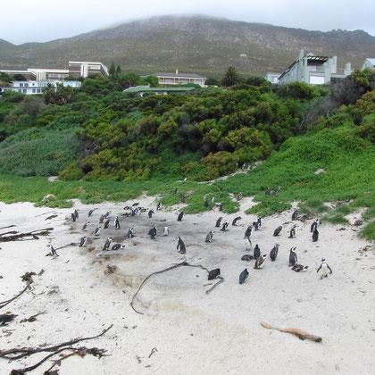 Pinguin Strand