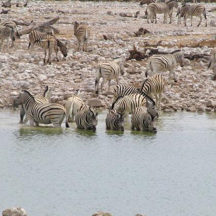 Zebras im Wasserloch