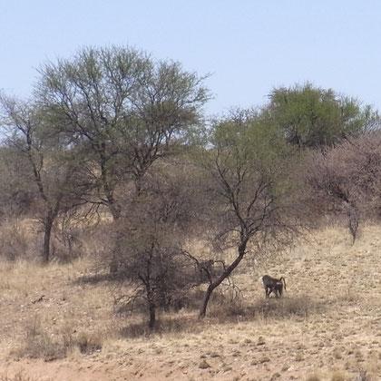 fliehender Affe