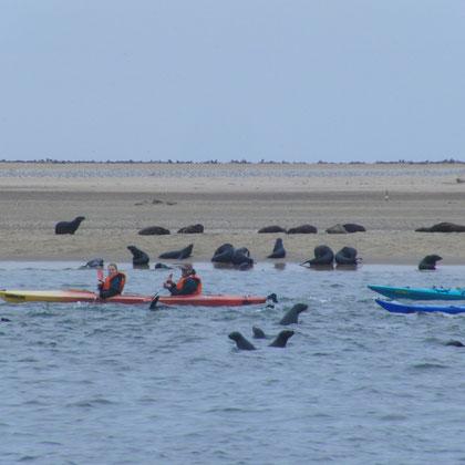 Robben können auch mit dem Paddelboot besucht werden