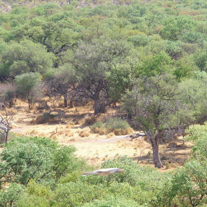gleich sahen wir Giraffen