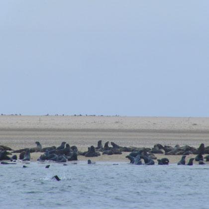Sandbank mit Robben