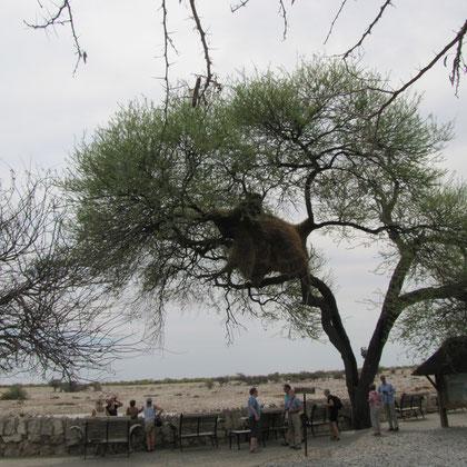 Baum mit Webervögelnestern - Blick auf Wasserloch
