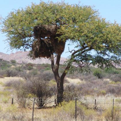 Webernester im Baum